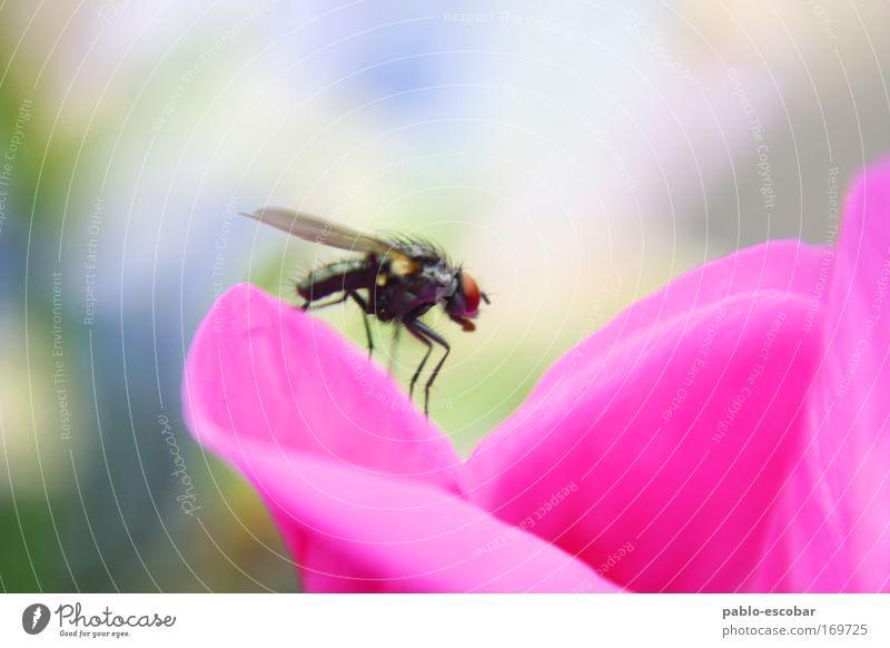 Summ Summ Summ Natur Pflanze Sommer Freude Tier Blüte rosa Fliege Umwelt Fröhlichkeit authentisch Wildtier Duft exotisch Tierliebe
