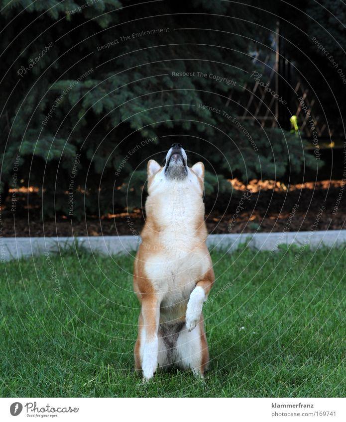 Alles Gute kommt von Oben Farbfoto Außenaufnahme Tierporträt Blick nach oben Freude Glück Baum Gras weißhaarig Haustier Hund 1 Bewegung fallen fangen Jagd