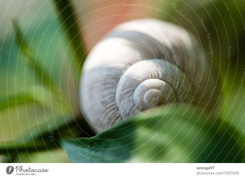 Schneckenhaus natürlich rund braun grau grün leer Garten Blatt Licht & Schatten Nahaufnahme Makroaufnahme Farbfoto mehrfarbig Außenaufnahme Menschenleer