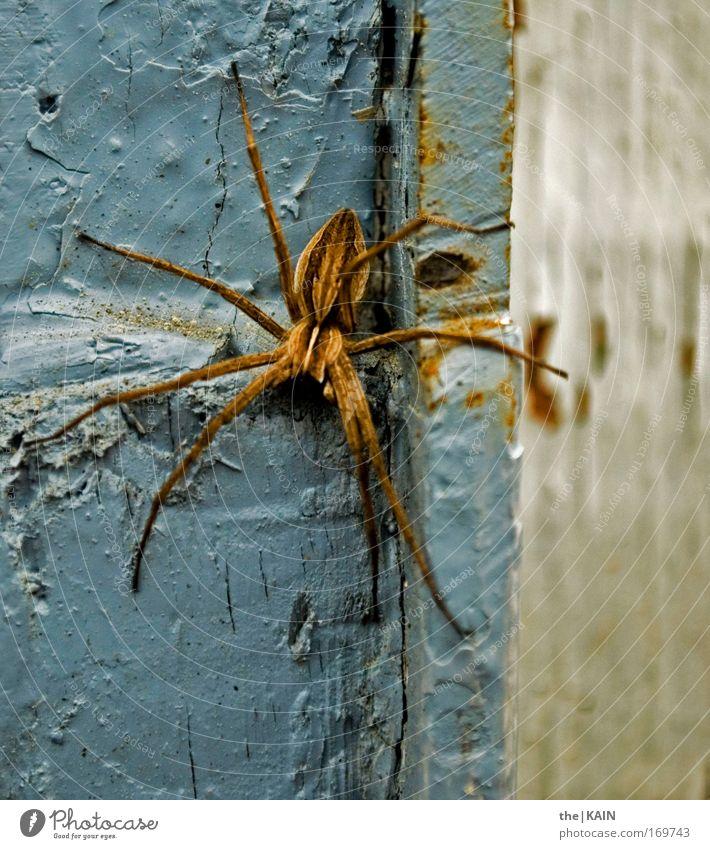 Pfui! Spinne! weiß blau Tier gelb grau Bewegung braun Angst warten gehen gefährlich bedrohlich Wildtier gruselig Mut Todesangst