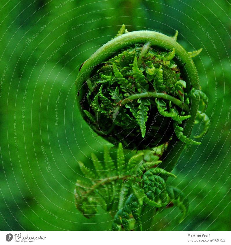 eingerollt Farn Natur Pflanze Frühling Park Wiese grün Geborgenheit Farnblatt Rolle einrollen Isolierung (Material) Farbfoto Außenaufnahme Nahaufnahme