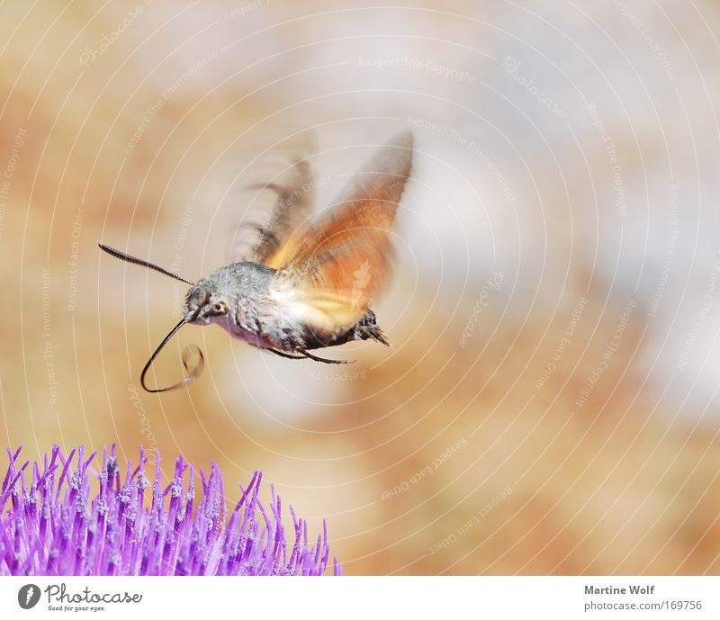 Rüsseltier Umwelt Natur Tier Wildtier Flügel Taubenschwänzchen Schmetterling karpfenschwanz schwärmer 1 Blühend fliegen braun grau violett fleißig Blume Blüte