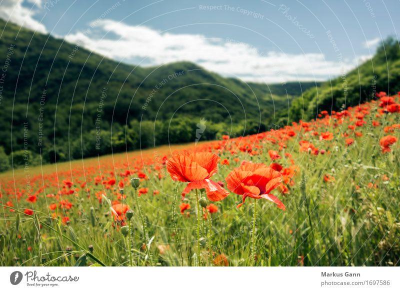Mohnfeld Sommer Natur Landschaft Pflanze rot Italien Feld Hügel Marche Blumenwiese Mohnblüte grün Farbfoto Außenaufnahme Menschenleer Tag Zentralperspektive