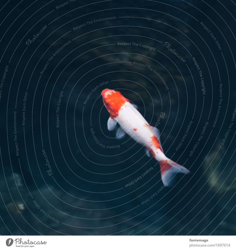 lone fish Natur Tier Aquarium 1 Schwimmen & Baden ästhetisch Fisch Fischteich Brunnen fischig rot weiß blau Wasser Im Wasser treiben Schweben Flosse Goldfisch