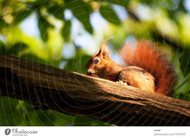 Das Letzte dieser Art Umwelt Natur Landschaft Pflanze Tier Baum Garten Park Wildtier Eichhörnchen Nagetiere 1 beobachten entdecken Fressen sitzen kuschlig