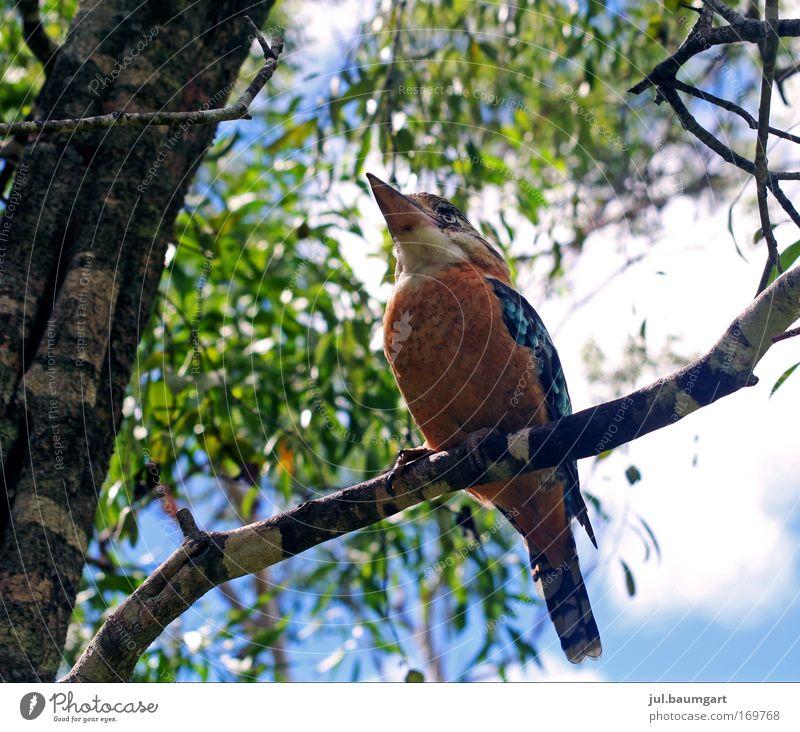 Kookaburra Farbfoto Menschenleer Tag Froschperspektive Natur Wildtier 1 Tier beobachten lachen natürlich Tierliebe Wachsamkeit Australien Außenaufnahme