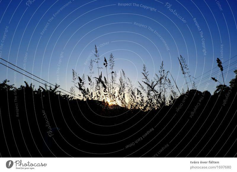 Sonnenuntergang hinter Gräsern Kabel Natur Himmel Wolkenloser Himmel Horizont Sonnenaufgang Sommer Pflanze Gras Wiese Feld blau schwarz Farbfoto Gedeckte Farben