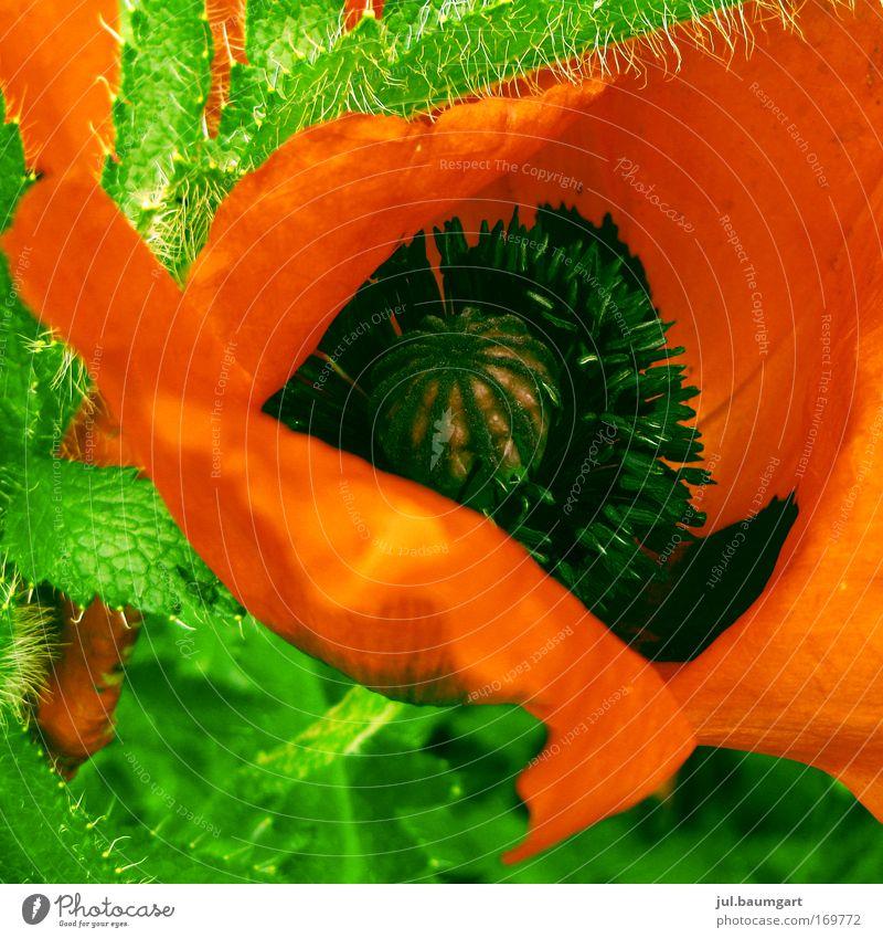Klatschmohn Außenaufnahme Menschenleer Tag Umwelt Natur Landschaft Pflanze Blume Blüte Blühend Duft leuchten schön grün rot Farbe Mohn Mohnblüte