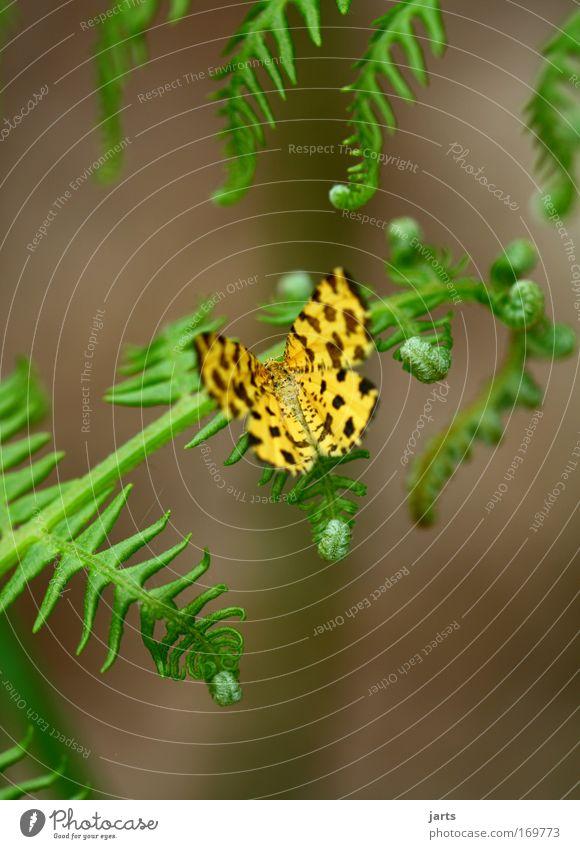 yellow Natur schön grün Pflanze ruhig Tier gelb ästhetisch natürlich Gelassenheit Schmetterling Wildtier Farn