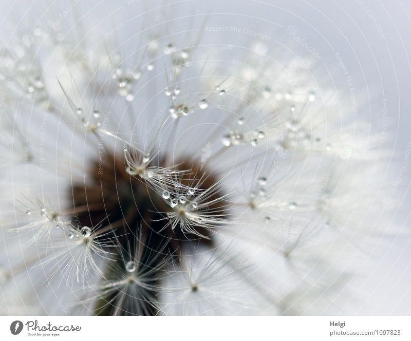 filigran... Pflanze Wassertropfen Sommer Wildpflanze Löwenzahn Samen Wiese festhalten stehen verblüht ästhetisch authentisch außergewöhnlich einzigartig klein