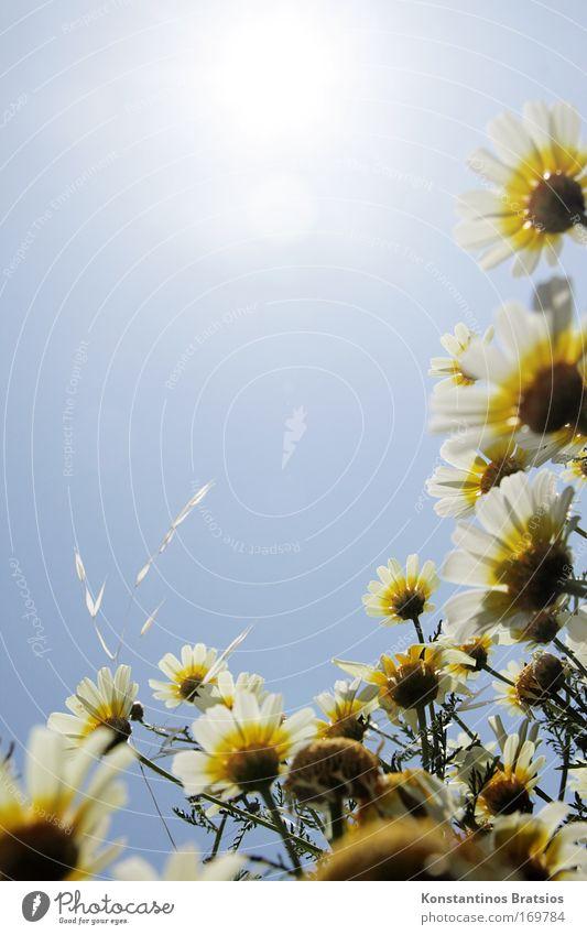 Sonnengeil Natur schön weiß Blume blau Pflanze Sommer gelb Wiese Blüte hell Energiewirtschaft Wachstum nah natürlich Schönes Wetter