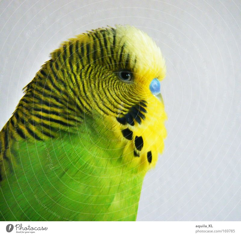 Profi-Model Farbfoto mehrfarbig Innenaufnahme Blick Blick in die Kamera Tier Haustier Wildtier Vogel Tiergesicht Flügel Zoo 1 Fröhlichkeit Zufriedenheit