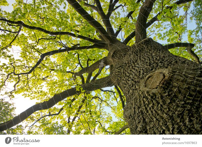 großer Baum Umwelt Natur Landschaft Pflanze Luft Himmel Sonne Sommer Wetter Schönes Wetter Blatt Park Wald Wien Österreich Holz alt heiß hoch braun gelb grün