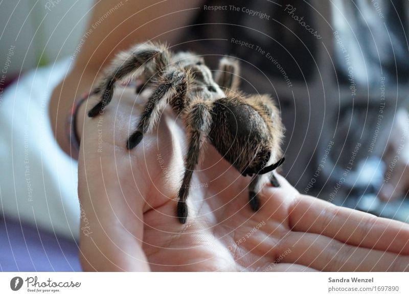 Spider 4 Stoppel kurzhaarig Fell Bewegung entdecken festhalten Fressen hocken Ekel krabbeln Spinne Spinnenbeine Insekt Urwald Australien Afrika Klimawandel