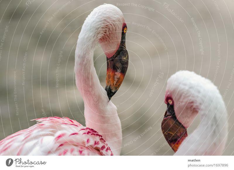 Haste schon gehört? Tier Vogel Tiergesicht 2 gelb grau orange rosa weiß Verschwiegenheit Flamingo Schnabel Hals Telekommunikation Farbfoto Außenaufnahme