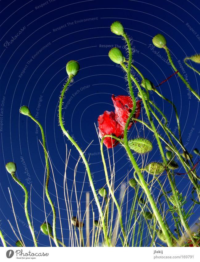 Up Farbfoto mehrfarbig Außenaufnahme Menschenleer Tag Blitzlichtaufnahme Kontrast Froschperspektive Natur Pflanze Himmel Wolkenloser Himmel Sommer Blume Gras