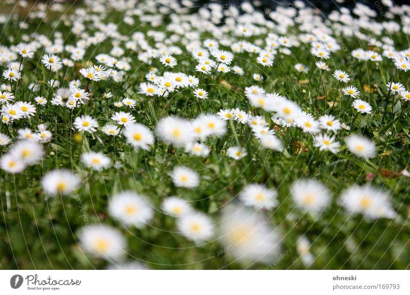 Sommerrasen Farbfoto mehrfarbig Muster Sonnenlicht Unschärfe Natur Pflanze Schönes Wetter Blume Gras Blüte Gänseblümchen Wiese Freundlichkeit Glück