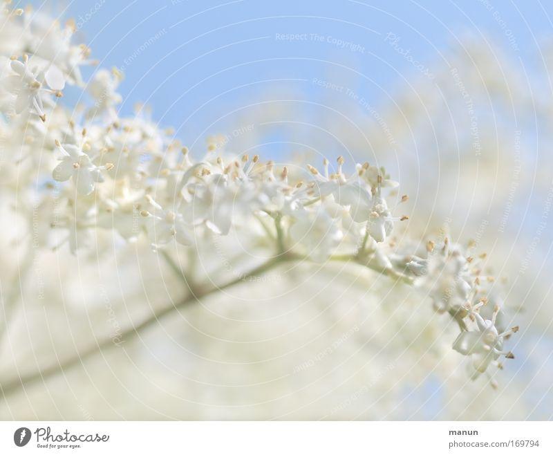 Sambucus nigra Natur weiß Sommer Pflanze Frühling Blüte Stil Gesundheit natürlich Lebensmittel Design Ernährung ästhetisch Muster Wohlgefühl Duft