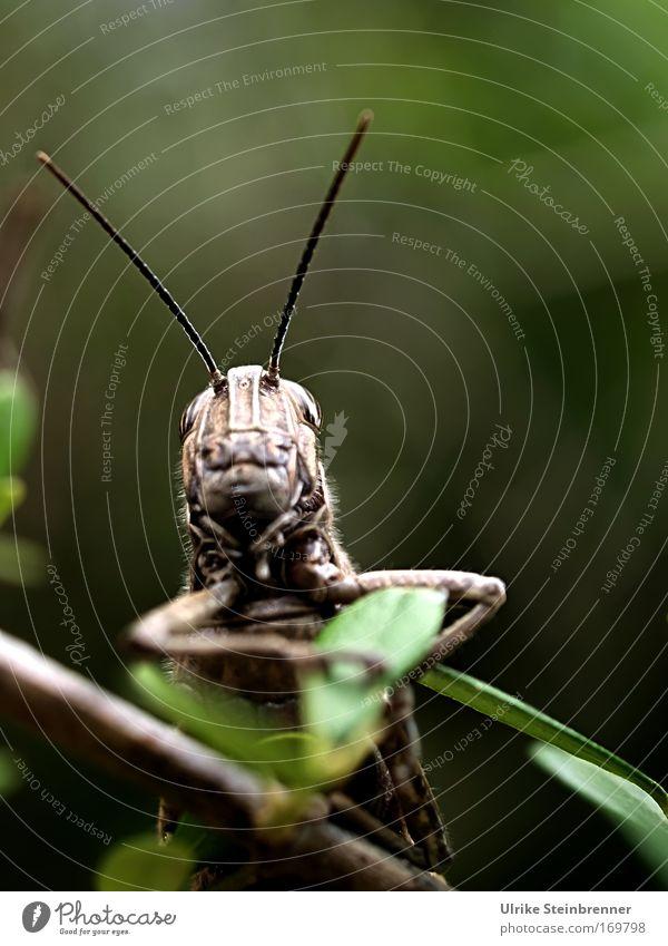Lauschangriff Natur grün Tier Frühling braun Beine Wildtier Sträucher sitzen groß beobachten Neugier festhalten Insekt hören Wachsamkeit
