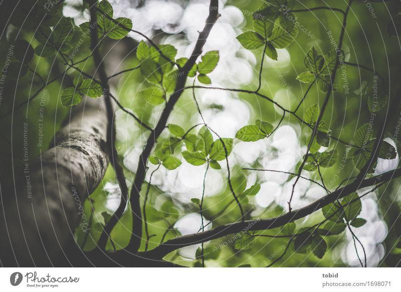 Blätterdach Natur Pflanze Himmel Baum Wald elegant Buche Buchenwald Blatt grün Baumstamm Zweige u. Äste verzweigt Farbfoto Außenaufnahme Detailaufnahme