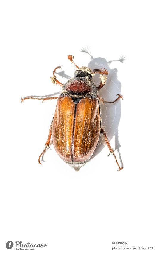 cockchafer Natur Tier springen Fotografie Insekt Käfer Schiffsbug Maikäfer