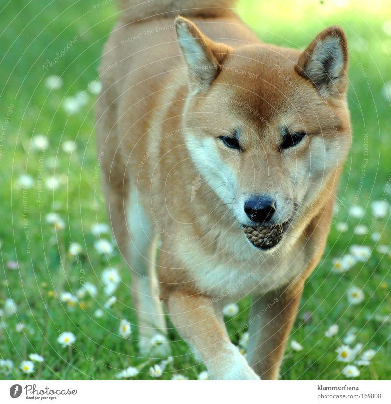 Tannenzapfen im Maul Farbfoto Außenaufnahme Starke Tiefenschärfe Natur Gras Gänseblümchen Tier Haustier Hund gehen Jagd laufen Spielen frei Freundlichkeit