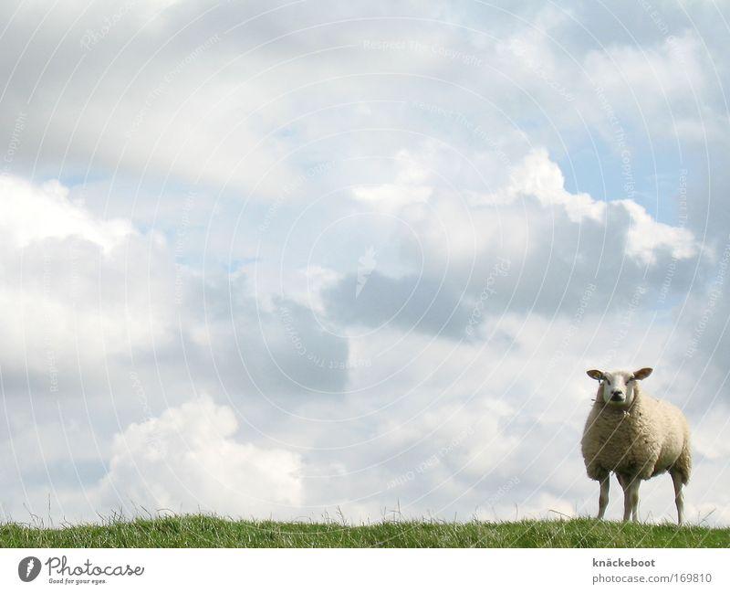 wolken und schaf Himmel Sommer Wolken Tier Neugier Nordsee Nutztier