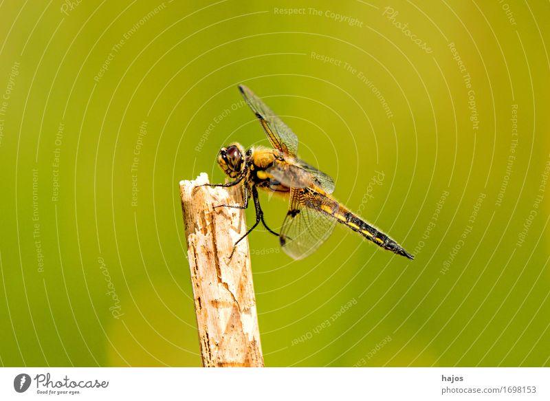 Vierfleck,Libellula quadrimaculata Leben Sommer Umwelt Natur Tier Wasser Blatt Teich Wildtier sitzen groß Libelle Groß Libelle Insekt Lebewesen Außenaufnahme