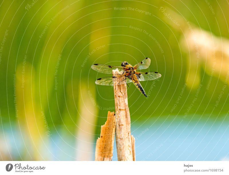 Vierfleck,Libellula quadrimaculata Leben Sommer Umwelt Natur Tier Wasser Blatt Teich Wildtier sitzen groß Libelle Groß Libelle Insekt Lebewesen Nahaufnahme