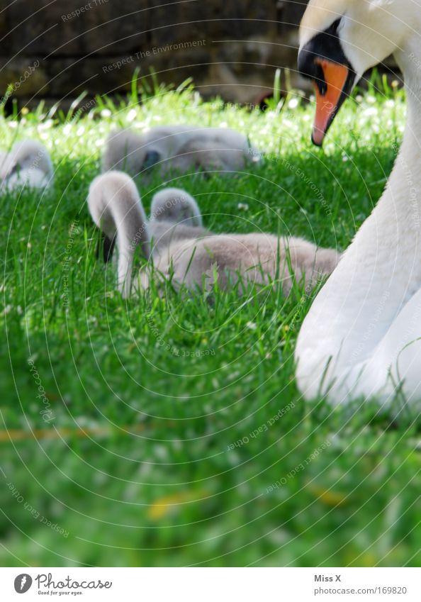 süüüüüß Natur Gras Park Wiese Teich Bach Fluss Wildtier Vogel Tierjunges Tierfamilie schön niedlich Beginn Umweltschutz Schwan Schnabel Küken Farbfoto