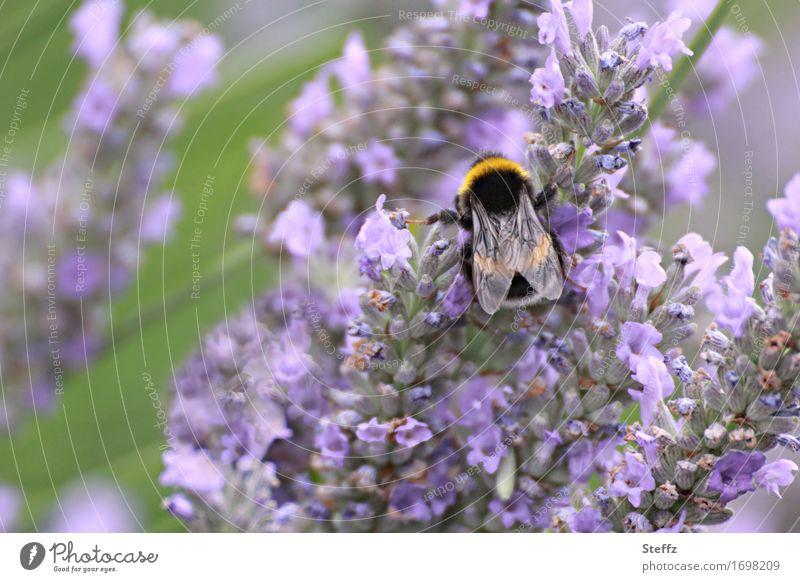 summer life Umwelt Natur Pflanze Sommer Wildpflanze Lavendel Heilpflanzen Garten Park Biene Flügel Hummel Insekt Blühend Duft Fressen nah natürlich schön