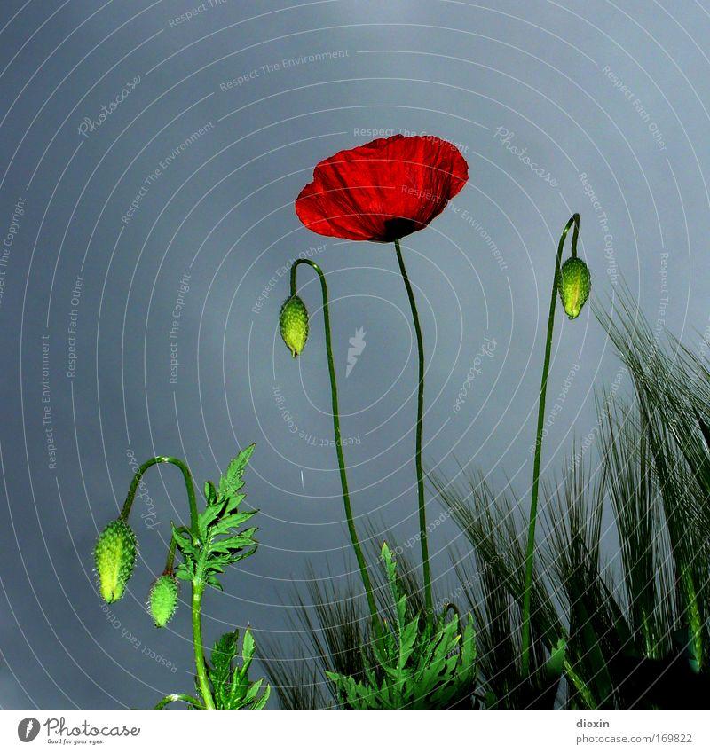 (it is time for) stormy weather Natur schön Blume Pflanze rot Sommer Wolken Blüte Gras Frühling grau Feld Wind Wetter Umwelt Wachstum