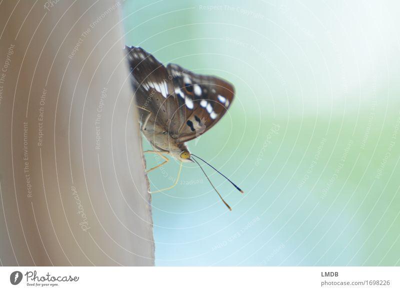 Schmetterling mit Freilicht Tier Flügel 1 braun Insekt Fühler sitzen ruhig friedlich zart filigran Punkt Startposition Farbfoto Außenaufnahme Detailaufnahme