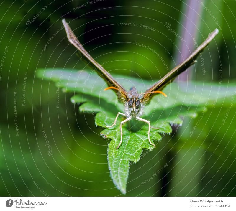 Abflug Umwelt Natur Tier Frühling Sommer Pflanze Blatt Wildpflanze Wiese Wald Schmetterling 1 braun grau grün Ochsenauge Flügel Fühler Abheben Farbfoto