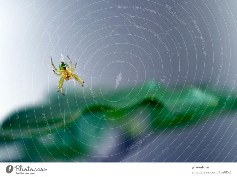 Spinnentierchen Farbfoto Außenaufnahme Nahaufnahme Menschenleer Morgen Tag Schwache Tiefenschärfe Zentralperspektive Pflanze Sommer Grünpflanze Tier Wildtier