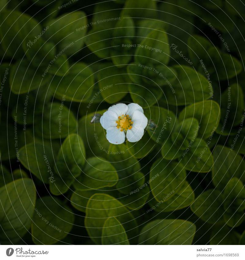 im Mittelpunkt Natur Pflanze schön grün weiß Blume Einsamkeit Blatt Blüte klein Garten Design Blühend einzigartig Duft Optimismus