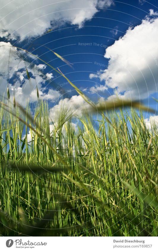 Perspektive einer Feldmaus Himmel Natur blau weiß grün Sommer Pflanze Wolken Landschaft Umwelt Luft Feld Klima Schönes Wetter Kornfeld Gerste