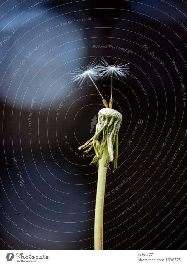 Abflugbereit Natur Pflanze Frühling Sommer Blüte Samen Löwenzahn dünn oben blau grau grün schwarz Beginn Glaube Religion & Glaube gleich einzigartig