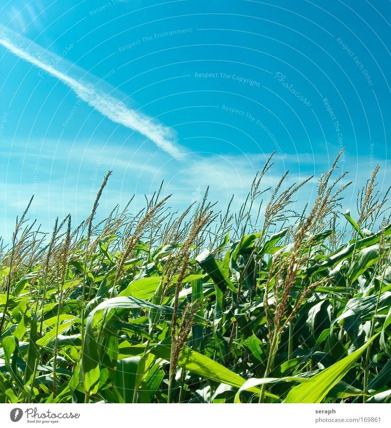 Popcorn Natur grün Blatt Wolken Mais Landschaft Feld Wachstum Getreide Ernte ländlich pflanzlich Landwirtschaft