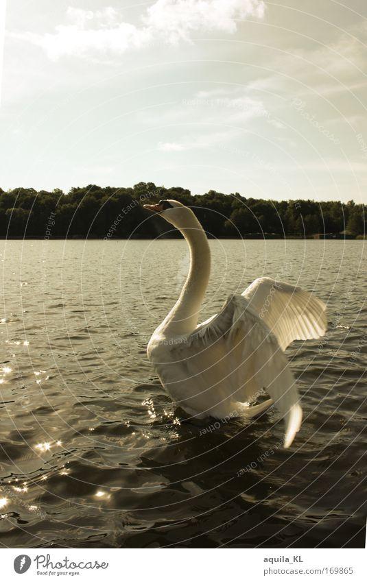 Traumhaft Wasser Sonne Tier träumen See Vogel Feder Flügel Wildtier Schwan Tatkraft sepiafarben