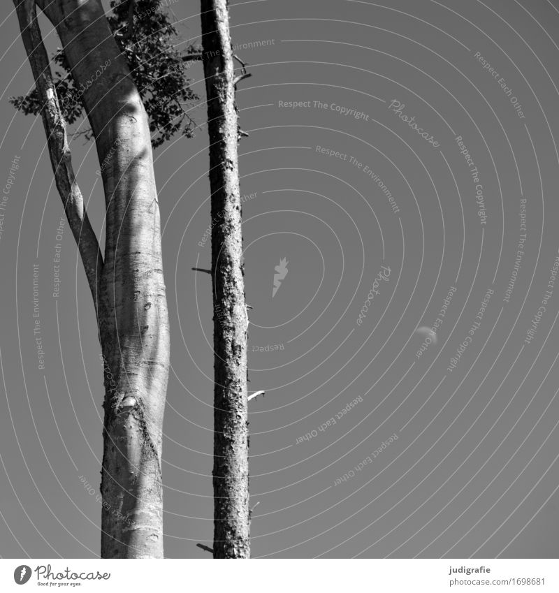 Buche, Kiefer, Mond Himmel Natur Pflanze Sommer Baum Landschaft Umwelt natürlich grau Klima Schönes Wetter Wolkenloser Himmel