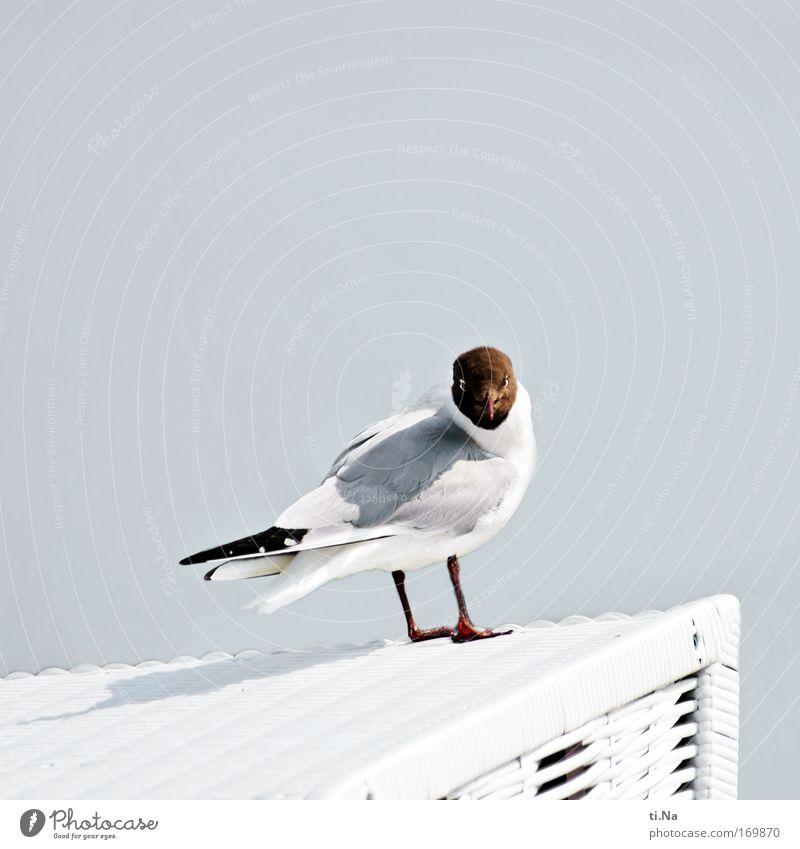 hast Du Pommes Außenaufnahme Textfreiraum oben Tag Blick in die Kamera Umwelt Natur Pflanze Luft Küste Nordsee Wildtier Vogel Flügel Lachmöwe 1 Tier warten