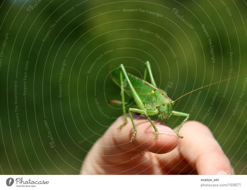 don´t move Farbfoto Nahaufnahme Menschenleer Hintergrund neutral Tag Starke Tiefenschärfe Froschperspektive Blick nach vorn Tier Tiergesicht Heuschrecke 1 grün