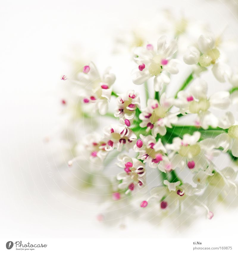 ein bißchen Pink Natur Pflanze Frühling Sommer Blüte Wildpflanze Doldenblütler Giersch Engelswurz Wiese Feld Blühend verblüht Wachstum Duft grün rosa weiß