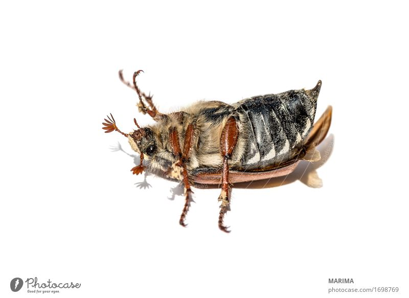 cockchafer Natur Tier Käfer springen European beetle May bug Melolontha animal brown Schiffsbug close color colour common cockchafer doodlebug female Fotografie
