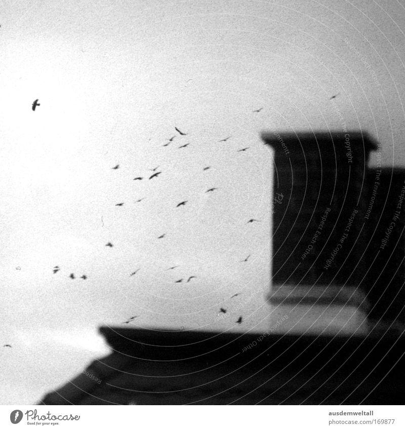 Birds Schwarzweißfoto Außenaufnahme Menschenleer Tag Unschärfe Haus Himmel Herbst Wetter schlechtes Wetter Wind Leipzig Tier Vogel Flügel Tiergruppe Schwarm