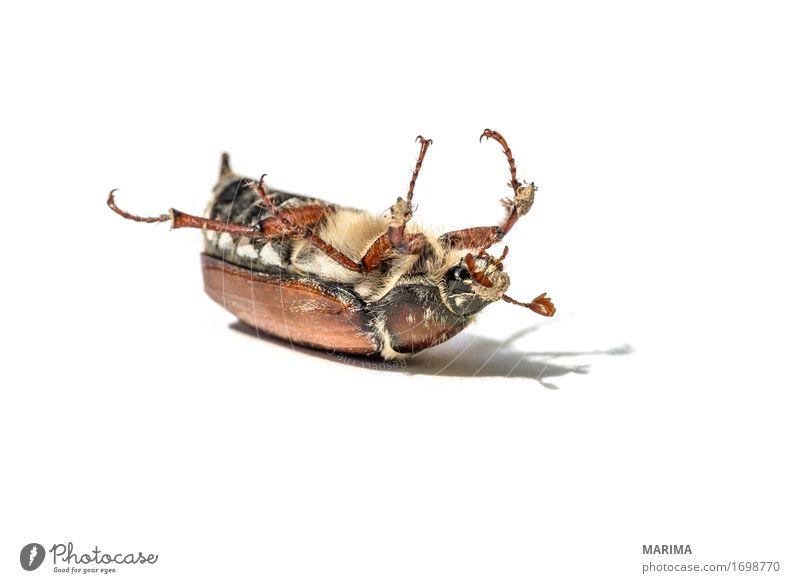 cockchafer Natur Tier springen Fotografie Käfer Schiffsbug Maikäfer