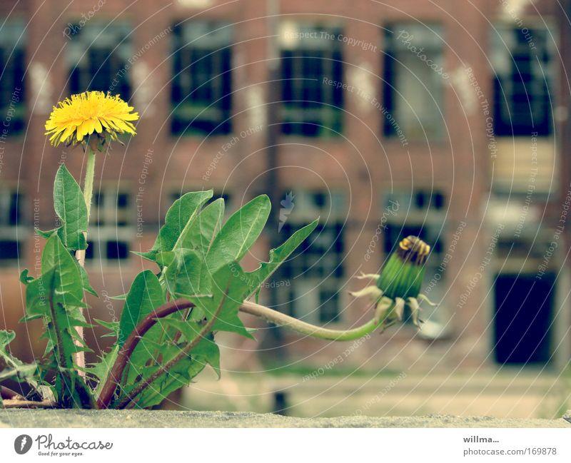 löwenzahn vor alter fabrik Natur Blume Fenster Zufriedenheit elegant ästhetisch Wandel & Veränderung Baustelle Industrie einzigartig Vergänglichkeit Neugier