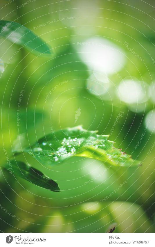 Das Velvet ist zurück Umwelt Natur Pflanze Urelemente Wasser Wassertropfen Frühling Sommer Baum Blatt Grünpflanze Garten Park Wald frisch nachhaltig nass
