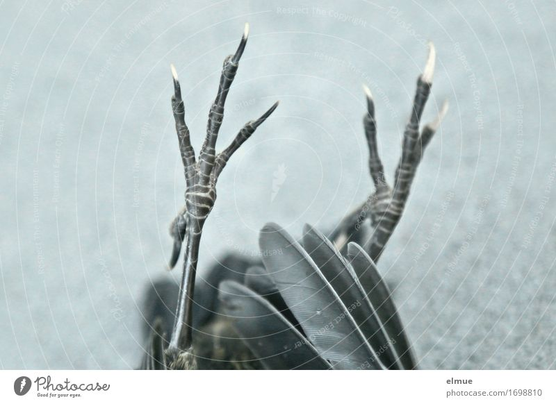 der piept nich mehr Jagd Totes Tier Vogel Krallen Tierfuß Vogelbein Feder Zauberei u. Magie Gothic Szene liegen dünn authentisch gruselig schwarz